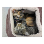Tortoiseshell & Tabby Cats Post Card