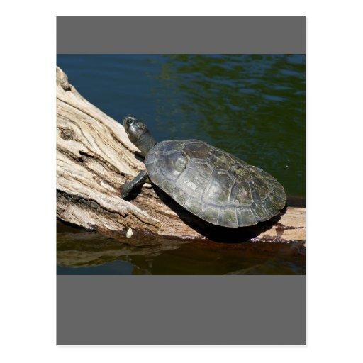 tortuga Amarillo-manchada del Amazonas Postal