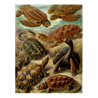 Tortuga Chelonia por la postal de Haeckel