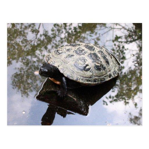 Tortuga con la reflexión postales