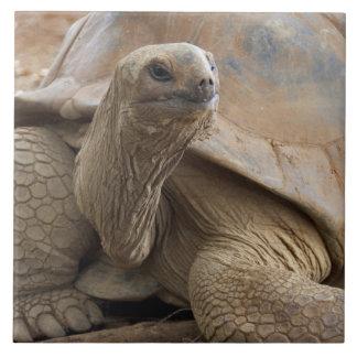 Tortuga de la tierra de Seychelle Aldabran Azulejo Cuadrado Grande