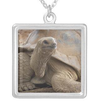 Tortuga de la tierra de Seychelle Aldabran Collar Plateado