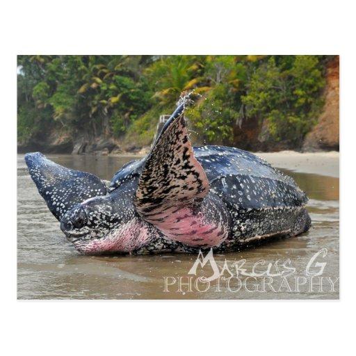 Tortuga de Leatherback Tarjeta Postal