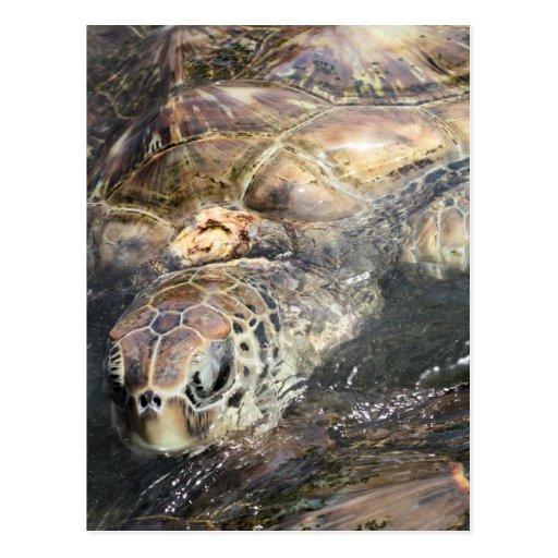Tortuga de mar adulta postal