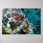 Tortuga de mar de Hawksbill, Islas Vírgenes de los Impresiones
