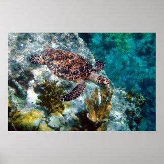 Tortuga de mar de Hawksbill, Islas Vírgenes de los Póster
