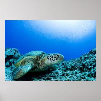 Tortuga de mar que descansa bajo el agua 2 poster