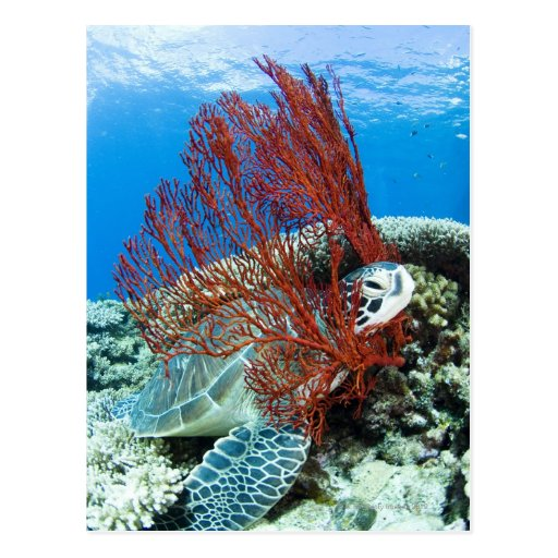 Tortuga de mar que descansa bajo el agua 2 postal