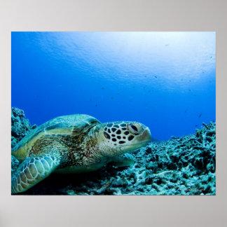 Tortuga de mar que descansa bajo el agua poster