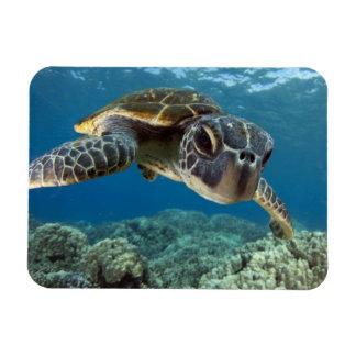 Tortuga de mar verde hawaiana iman rectangular
