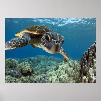 Tortuga de mar verde hawaiana póster