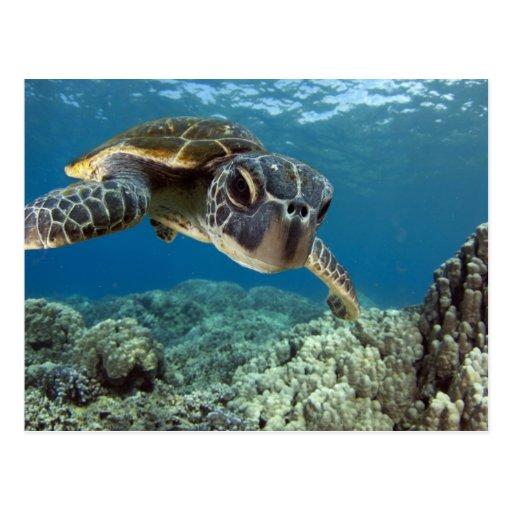 Tortuga de mar verde hawaiana postal