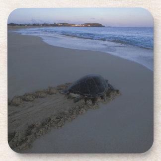 Tortuga de mar verde, (hembra de los mydas del Che Posavasos