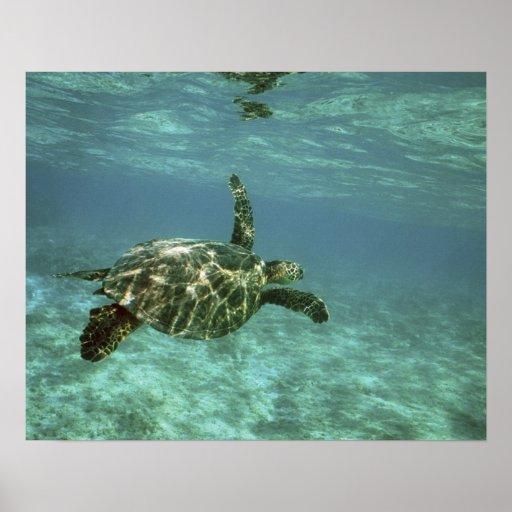 Tortuga de mar verde, (mydas del Chelonia), costa  Impresiones