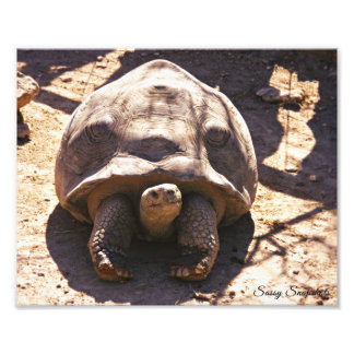 Tortuga estimulada africana 10x8 fotografías