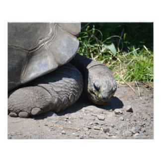 """Tortuga gigante de las Islas Galápagos 20"""""""" Fotografias"""