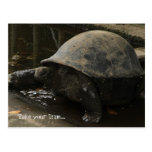 Tortuga gigante (hololis de Aldabrachelys Tarjetas Postales