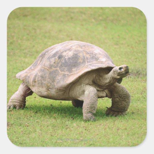 Tortuga gigante que camina en hierba pegatina cuadrada