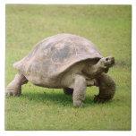 Tortuga gigante que camina en hierba teja