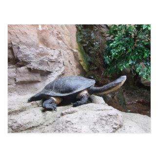 Tortuga negra con el cuello largo en las rocas tarjeta postal