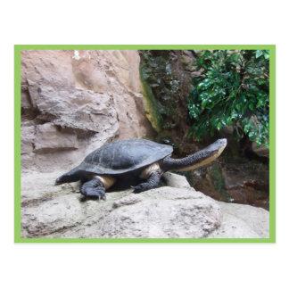 Tortuga negra con el cuello largo en las rocas tarjetas postales