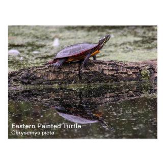 Tortuga pintada del este tarjetas postales