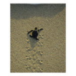 Tortuga verde, (mydas del Chelonia), hatchling Posters