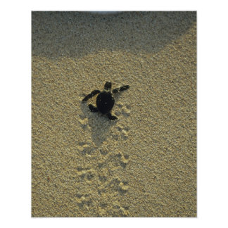 Tortuga verde, (mydas del Chelonia), hatchling Posters