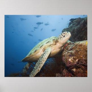 Tortuga verde subacuática posters