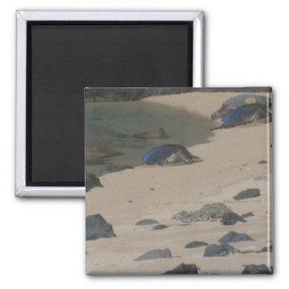 Tortugas de mar en el imán de Kauai