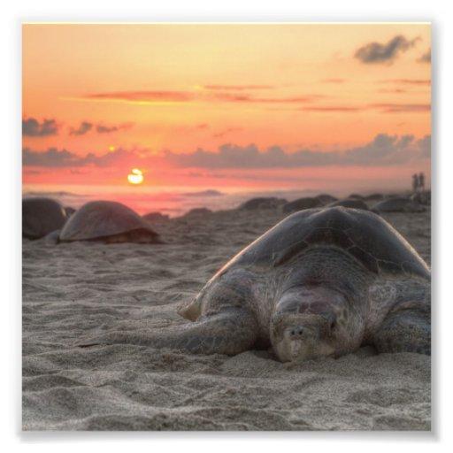 Tortugas de mar en la puesta del sol fotografías