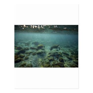 Tortugas de mar tranquilas del océano las Islas Ga Tarjetas Postales