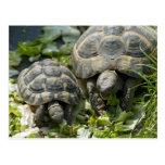 Tortugas lindas