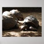 tortugas viejas posters