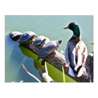 Tortugas y pato en Golden Gate Park Postales