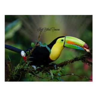 Toucan cargado en cuenta quilla, pájaro tropical tarjeta postal
