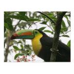 Toucan en la selva postal