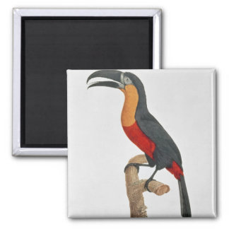 Toucan: Great Red-Bellied by Jacques Barraband Magnet