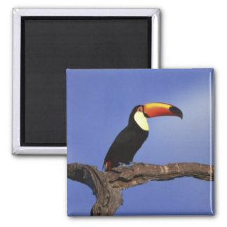 Toucan Long Shot 2 Inch Square Magnet