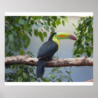 Toucan Photo Poster