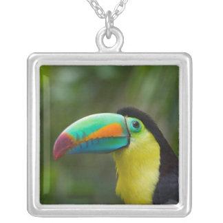 toucan Quilla-cargada en cuenta en la rama de Collar Plateado