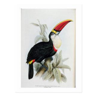 Toucan Rojo-Cargado en cuenta, 'de una monografía Postal