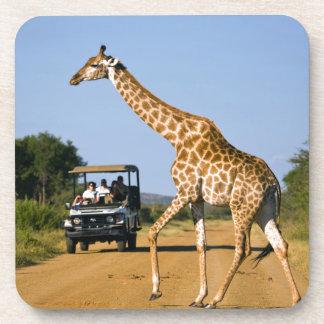 Tourists Watching Giraffe Drink Coaster