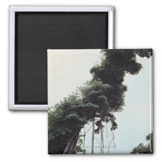 Towering tree and vines in jungle 2 inch square magnet