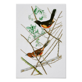 Towhe Bunting John James Audubon Birds of America Poster