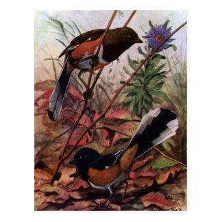 Towhees del este y aster púrpura tarjetas postales
