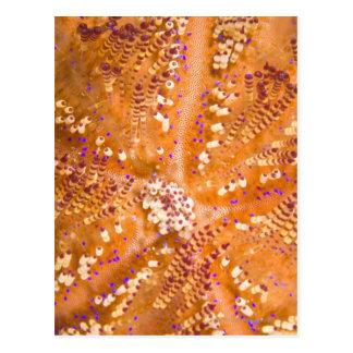 Toxic Fire Urchin Asthenosoma varium Postcards