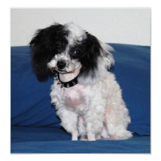 Toy Parti Poodle posing Poster