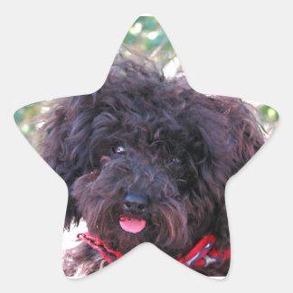Toy Poodle Black Star Sticker