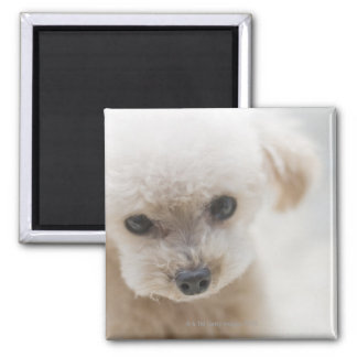 toy poodle magnet